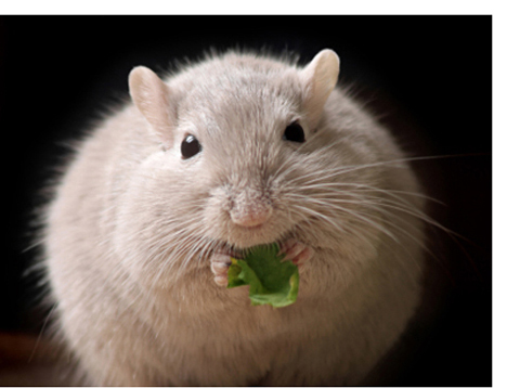 souris-obese